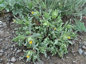 Кникус благословенный, или Волчец кудрявый, Кардобенедикт, бенедиктова трава, горький чертополох (Cnicus benedictus)