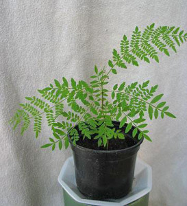 Жакаранда мимозолистная (Jacaranda mimosifolia)