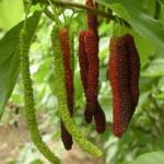 Шелковица Китайская Длинноплодная, тутовое дерево (Morus nigra)