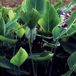 Талия беловатая (Thalia dealbata)