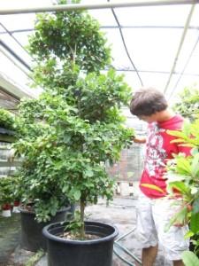 Чудесные ягоды, Путерия сладковатая, Магический фрукт, Miracle Fruit, Синсепалум (Synsepalum dulcificum, syn. Pouteria dulcifica)
