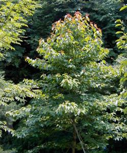 Камптотека остроконечная (Camptotheca acuminata)