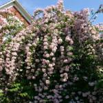 Кольквиция приятная или прелестная (Kolkwitzia amabilis)