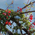 Вислоплодник шероховатый, Эккремокарпус, Эккремокарп (Eccremocarpus scaber)