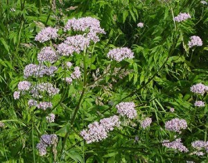 Валериана лекарственная, или Кошачья трава (Valeriana officinalis)
