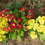 Примула, или Первоцвет (Primula)
