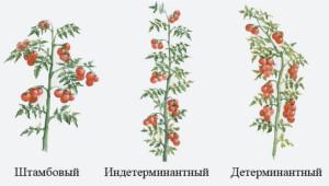 Что такое индетерминантный и детерминантный томат
