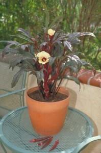 Бамия Красная Бургундия (Okra Red Burgundy), или Окра, Гомбо (Abelmoschus esculentus)