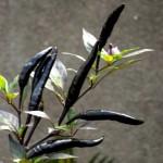Черный перец чили Чензо F1 (Capsicum frutescens F1)