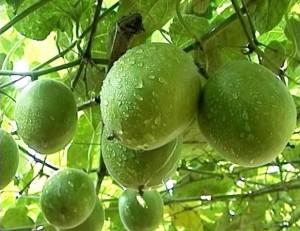 Архат, Лоханго, Луо Хан Гуо, Luo Han Guo (Siraitia grosvenorii, Momordica grosvenorii)