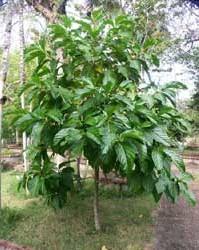 Нони, Сырное дерево, Моринда цитрусолистная, Индийское тутовое дерево (Morinda citrifolia, Noni)