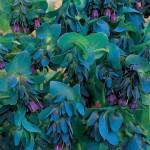 Восковник пурпурный, или Воскоцветник (Cerinthe)