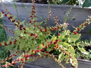 Земляничный шпинат, Марь многолистная, жминда лозная, жминда прутьевидная, жминда обыкновенная, шпинат-малина, шпинат многолистный (Blitum virgatum, Chenopodium foliosum)
