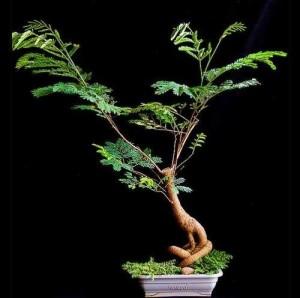 Леуцена светлоголовчатая, Шина светлоголовчатая, Мимоза белоголовая, Левцена сизая, Левкена сизая (Leucaena leucocephala)