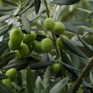 Олива европейская, или Олива культурная, или Маслина европейская, или Оливковое дерево (Olea europaea)
