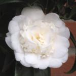 Камелия японская (Camellia japonica) белая
