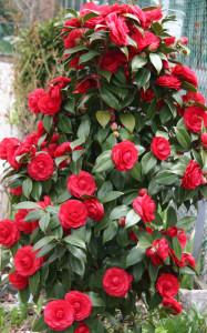 Камелия японская (Camellia japonica) красная