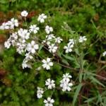 Гипсофила ползучая белая, Качим, Качим ползучий, или Гипсолюбка (Gypsophila repens)