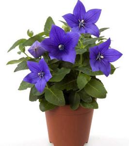 Ширококолокольчик крупноцветковый, Platycodon grandiflorus, платикодон крупноцветковый,Platycodon, Ширококолокольчик, платикодон синий
