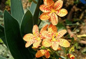 Беламканда китайская, Беламканда Цветок леопарда (Belamcanda chinensis, Iris domestica)