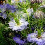 Чернушка дамасская, или Нигелла, девица в зелени, римский кориандр, волосы Венеры, черный тмин, Калинджи, Сейдана, Седана, любовь в тумане (Nigella damascena)