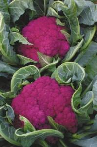 Капуста цветная Пурпур, капуста цветная фиолетовая, Brassica oleracea L. var. botrytis