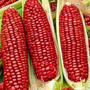 Кукуруза Красная Сахарная, или Маис (Zea mays saccharata)