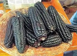 Кукуруза Черная Зубовидная, или Маис (Zea mays indentata)