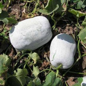 Восковая тыква, или зимняя тыква, зимняя дыня, Бенинказа (Benincasa hispida)