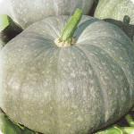 Тыква лечебная (Cucurbita)