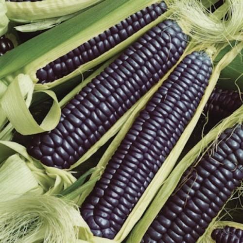 Кукуруза Черная Зубовидная, или Маис (Zea mays indentata)