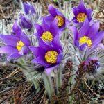 Прострел фиолетовый (Сон-трава) (Pulsatilla vulgaris)