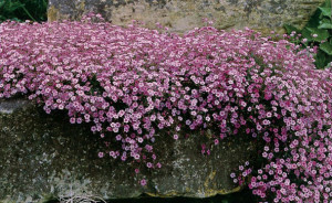 Гипсофила ползучая, Качим, Качим ползучий, или Гипсолюбка (Gypsophila repens)