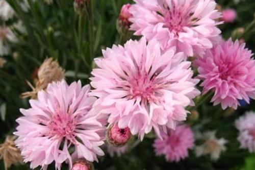 Василек Махровый Розовый (Centaurea paniculata)