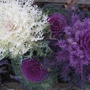 Капуста декоративная Павлиний хвост (Brassica oleracea)
