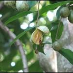 Аквилария, Агар, Алойное дерево (Aquilaria Malaccensis)