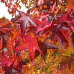 Ликвидамбар смолоносный, амбровое дерево (Liquidambar styraciflua)