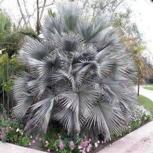Брахея вооруженная, или Брагея, Эритея, Мексиканская голубая пальма (Brahea armata)