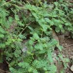 Филлантус уринария, Филантус (Phyllanthus urinaria)