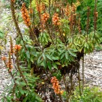 Изоплексис канарский, или Наперстянка канарская (Isoplexis canariensis)