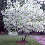 Снежноцвет, или Хионантус виргинский, Снеговец, Снежное дерево, Китайское бахромчатое дерево (Chionanthus virginicus)