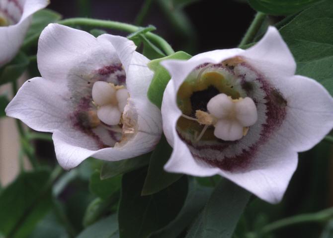 Кодонопсис мелковолосистый (Codonopsis pilosula)