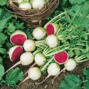 Арбузный редис, Редька арбузная семена купить