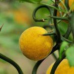 Понцирус трёхлисточковый,Citrus trifoliata,Poncirus trifoliata,Трифолиата, трёхлисточковый лимон, колючий лимон