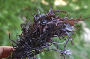 Капуста с ажурными листьями, Японская листовая капуста Мизуна, Капуста Мизуна (красная)