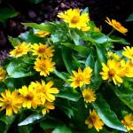 Меламподиум болотный, или масляная ромашка (Melampodium paludosum)