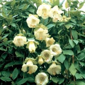 Кобея белая (Cobaea scandens)