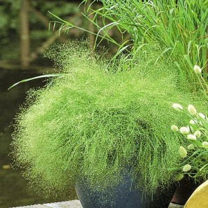 Полевица ажурная, Полевица туманная (Agrostis nebulosa)