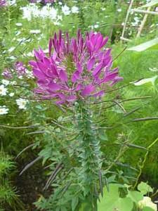 Клеома колючая, Cleome spinosa, Пурпурная королева, Клеома фиолетовая королева, клеома