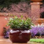 Талинум метельчатый (Talinum paniculatum = Claytonia paniculata = Portulaca paniculata)